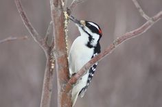 Almost identical to the Downy Woodpecker, the Hairy Woodpecker is larger in size and has a much heavier, longer bill. Learn about this backyard visitor.