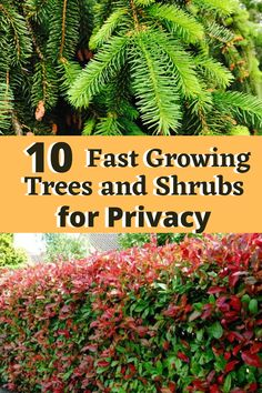 Evergreen Trees For Privacy, Shrubs For Privacy, Privacy Hedge, Evergreen Shrubs, Trees And Shrubs, Fast Growing Evergreens, Fast Growing Trees, Living Privacy Fences, Down South