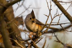 Tufted x Black-crested Hybrid Titmouse Pictures Of The Week, Backyard, Bird, Animals, Black, Patio, Animales, Animaux, Black People