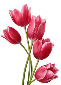 Tulip, Tulip Clipart PNG and Vector with Clear Background for Free Obtain - 650 x 1300 Resimler / Bilder Tulip Drawing, Tulip Painting, Tulips Flowers, Spring Flowers, Flowers Garden, Rare Flowers, Exotic Flowers, Purple Flowers, Flower Nails
