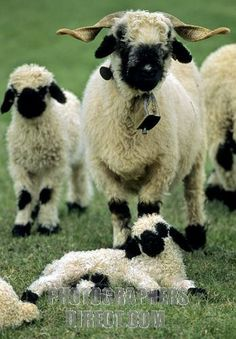 valais black nose sheeps swiss alpes canton of valais switzerland stock photo Cute Sheep, Sheep Farm, Sheep And Lamb, Farm Animals, Animals And Pets, Cute Animals, Amazing Animals, Animals Beautiful, Alpacas