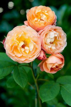 Rosa 'Lady Emma Hamilton', a David Austin English rose by Georgianna Lane