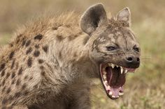 A hyena showing its teeth❗️⚡️⚡️