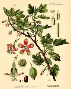 gooseberry 1885 german botanical chromelithograph