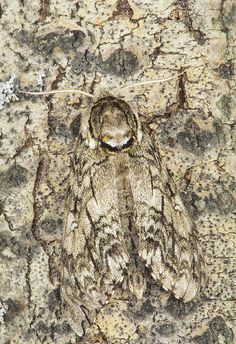 Here are some examples of different creatures using camouflage to blend in with their environment. Weird Insects, Bugs And Insects, Beautiful Bugs, Amazing Nature, Animals And Pets, Cute Animals, Best Camouflage, Insect Photography, Bizarre