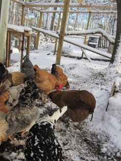 Winter with Chickens: To Heat or Not Heat the Coop~~10 ways to keep chickens warm in the cold without artificial heat