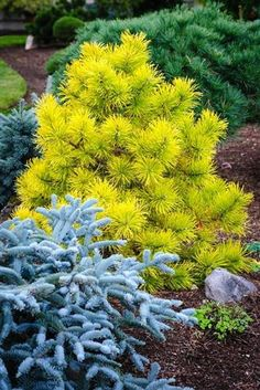 'Chief Joseph' Lodgepole Pine: A true stunner that is unassuming green all summer, then turns brilliant gold in the winter. Especially beautiful when paired with a blue cultivar for amazing winter color. Garden Shrubs, Garden Trees, Landscaping Plants, Front Yard Landscaping, Garden Plants, Trees And Shrubs, Trees To Plant, Horticulture, Landscape Design