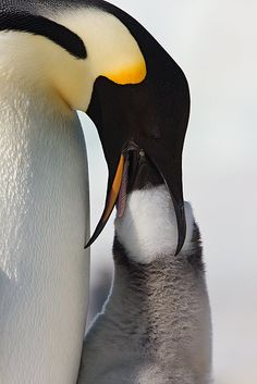 Emperor Penguin feeding her chick