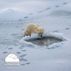Rapid loss of sea ice is the primary threat to the polar bear's long-term survival. Polar bears have evolved to eat seals, and they reach their seal prey from the platform of sea ice. If we act on a community level to curb fossil fuel emissions, we can ensure a stable state for the Arctic, polar bears and our shared global climate. #SaveOurSeaIce #ActOnClimate #EcoMonday