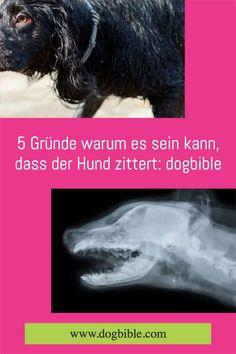 Bestimmt habt auch ihr euren Hund schon einmal zittern gesehen. Als Hundebesitzer erschrickt man in diesem Fall oft, weil man sich Sorgen um seinen Hund macht.Das Zittern kann viele unterschiedliche Ursachen haben, von denen viele auch harmlos sind. Bei anderen sollte hingegen ein Tierarzt aufgesucht werden. Bichon Frise, Labradoodle, Australian Shepherd, Dog Care, Dog Owners, Vet Office, Dog Breeds, Puppys, Aussie Shepherd