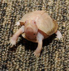 Albino baby Eastern Box Turtle (Terrapene carolina carolina)