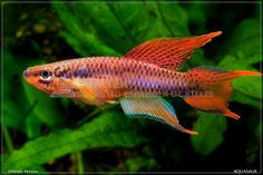 Chromaphyosemion bitaeniatum Lagos red