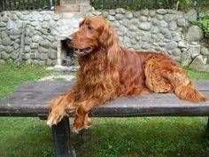 Irish Setter   Add photos Bonny Irish Setter dog in your blog: