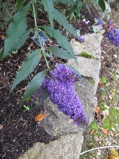 Zone 4 Erfly Bush Options Can You Grow Bushes In Cold Climates
