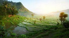 Rismarker i bjergene på Bali