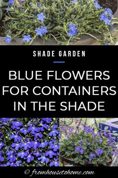 Container gardening in the shade can be a bit tricky. This list of blue plants for containers in the shade will have the pots on your patio, walkway or porch looking beautiful all summer long. Shade Garden Plants, Blue Plants, Tall Plants, Flowering Plants, Potted Plants, Summer Plants, Container Gardening Vegetables, Container Plants, Succulent Containers
