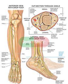 Las 89 Mejores Imágenes De Pies Anatomía Del Pie Anatomía