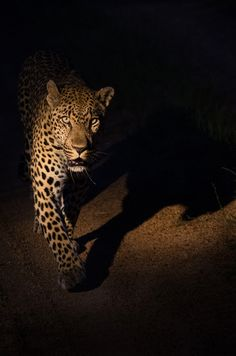 leopard walking in the road at Sabi Sabi Private game Reserve, South Africa