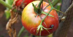 11 fertilizantes e pesticidas orgânicos feitos em casa                                                                                                                                                      Mais