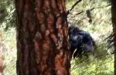 VIDEO STILL: The Harley Hoffman footage. Very interesting. http://bigfootbase.com/bigfoot-evidence/14-compelling-bigfoot-videos/2016/