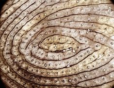 """asloversdrown: """"Human fingerprint. The smaller circles within the epidermal ridges are sweat gland ducts. P.S. Don't touch me ever again """""""