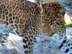Südchinesischer Leopard