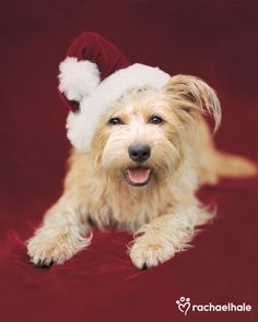 Bella (Crossbreed) - Christmas is Bella's favourite season  (pic by Rachael Hale)