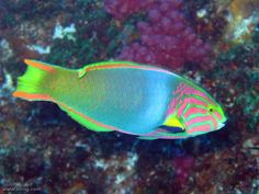 Green Moon Wrasse by richard ling Saltwater Aquarium Fish, Saltwater Tank, Underwater Creatures, Ocean Creatures, Colorful Fish, Tropical Fish, Green Moon, Beautiful Sea Creatures, Sea Life Art