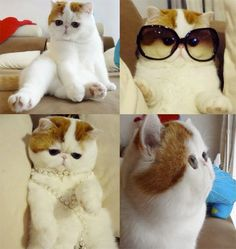 I dont know why I love flat faced cats so much,, just so cute.