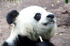 My Photo :) Giant Panda - San Diego Zoo