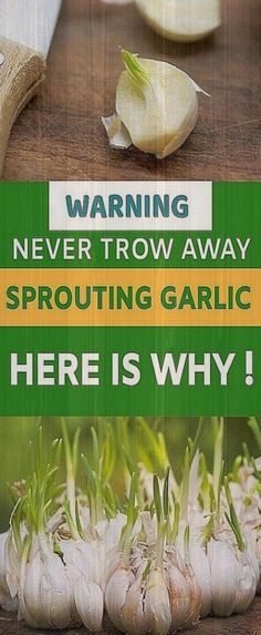 It doesn't mean that you have to throw away the sprouted garlic. There is no substitute for garlic when we talk about healthy living and good cooking. Despites its powerful health benefits, it is arom Garlic Sprouts, Health Advice, Health Quotes, Health And Nutrition, Health Facts, Health Care, Women's Health, Healthy Tips, Healthy Habits