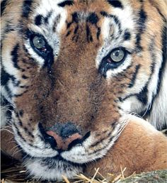 https://flic.kr/p/mQz6tr   tiger   Woodside Wildlife and Falconry Park 05-04-2014 new tiger