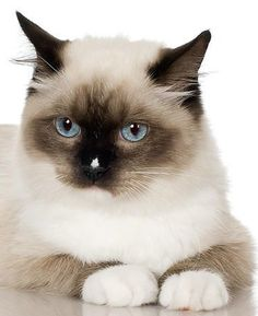 Javanese and Balinese - Affectionate Cat Breeds Rare Cats, Exotic Cats, Cats And Kittens, Balinese Cat, Hypoallergenic Cats, Purebred Cats, Exotic Shorthair, Sleepy Cat, Cat Boarding