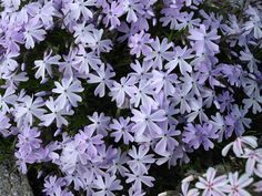 Phlox-subulata-Emerald Cushion blue-1-LD-wiki Garden Shrubs, Plantar, Woodland Party, Clematis, Creepers, Permaculture, Horticulture, Beautiful Gardens, Organic Gardening