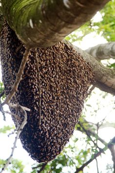 The old queen left with 1/2 her colony to find a new place to live. The workers cover her and will follow her to new hive.