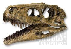 Herrerasaurus Skull (Actual Size) (Herrerasaurus ischigualastensis)   WDS-09
