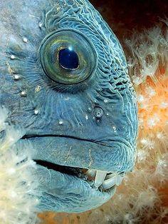 ✯ Atlantic Wolf Fish