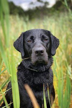 Untitled Labrador Retriever Smart Dog Retriever Puppy