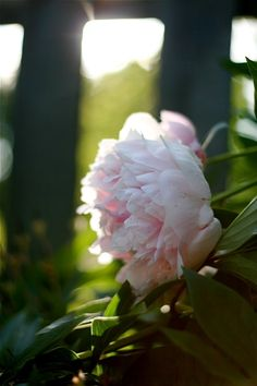 If only peonies could grow like this in Texas... okay, well one good thing about Ohio!