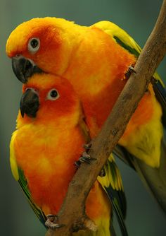 Sun Conure Parakeets: Warning, they're loud and demand a lot of attention!  We love our sun conure of 8 years though, she's so affectionate and playful..