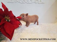 Mini & Micro Juliana Baby Pigs For Sale - Mini Pocket Pigs : Mini Pocket Pigs Baby Pigs For Sale, Cute Baby Pigs, Cute Babies, Micro Piglets, Pocket Pig, Indoor Pets, Pet Pigs, Mini, Animals