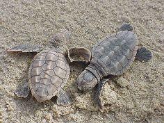 Loggerhead sea turtle hatchlings at Back Bay National Wildlife Refuge in Virginia. Credit: USFWS.