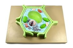 """Eisco Labs 4 Part Plant Cell Model on base; chloroplast, mitochondrion, and nucleus removable; 11.5"""" X 10"""" X 2"""""""