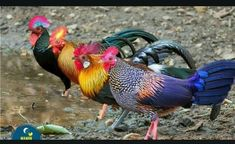 4 jungle fowl Beautiful Chickens, Most Beautiful Birds, Pretty Birds, Animals Beautiful, Colorful Animals, Unique Animals, Colorful Birds, Cute Animals, Fancy Chickens