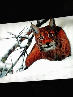 Pin by cynthia babcock on catsthe wild ones pinterest cat lynx fandeluxe Images
