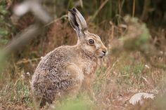 """""""Portrait of a Hare"""" by Penelope Malby on 500px - This is a portrait of a brown hare on Havergate Island, Suffolk, United Kingdom."""
