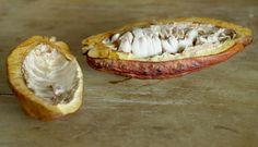 cacaueiro (Theobroma cacao)