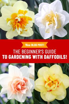 Everything you want to know about growing daffodils! Where to plant daffodils, when to plant daffodils, how to plant daffodils and all the different types of daffodils. Planting Daffodil Bulbs, Planting Bulbs, Exotic Flowers, Purple Flowers, Beautiful Flowers, Ranunculus Flowers, Bulb Flowers, Daffodil Flower, Cactus Flower