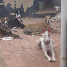 Gorgeous adoptables at the Galgos del Sol rescue in Spain. Photo by Tina Solera of Galgos del Sol. Quiero los todos!!!