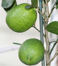 Indoor dwarf bearss seedless lime tree grows huge fruit...